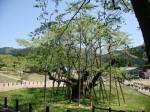 根尾谷の淡墨桜2